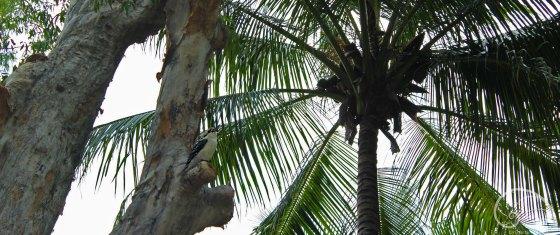 A boring, un-laughing kookaburra.