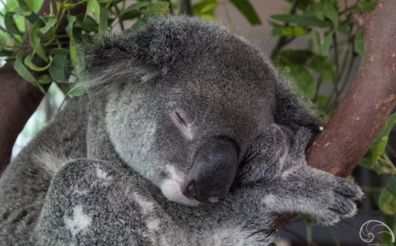 "Fun Fact: Did you know that ""koala"" is the aboriginal word for ""no drink""? Because koalas feed on eucalypt leaves with a high moisture level, they usually don't need to drink water!"